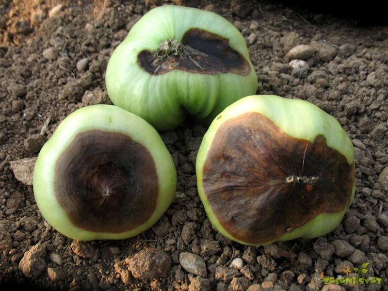 Zakaj črni plod paradižnika in težave na solati, jabolkih in ostalih rastlinah