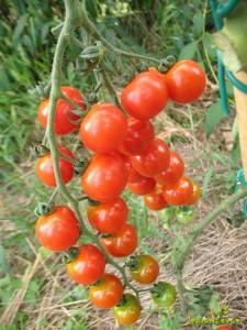Češnjev paradižnik hibrid Paki