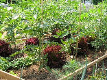 Kako kombiniramo paradižnik, kumare, papriko in ostale plodovke v domačem vrtu?