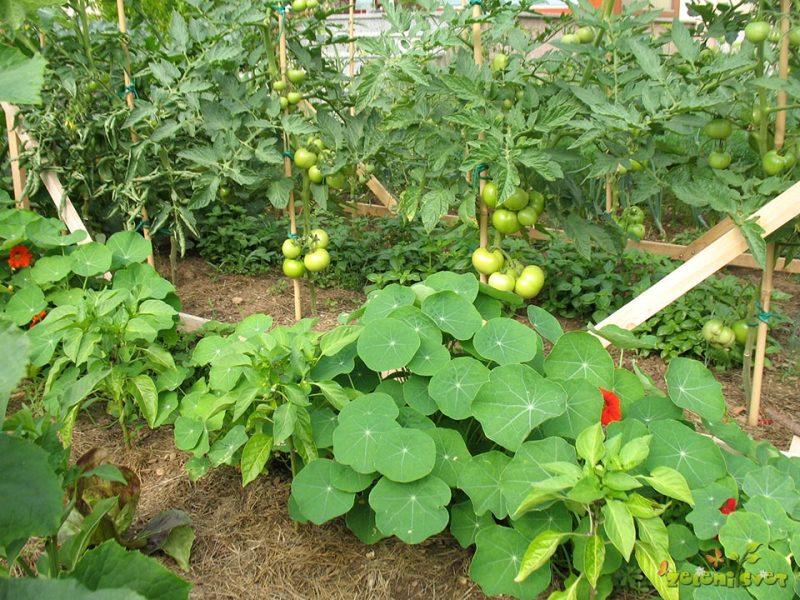 Sajenje paradižnika, kumar, paprike, bučk in ostalih plodovk