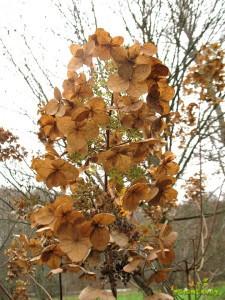 Suhi cvet lataste hortenzije