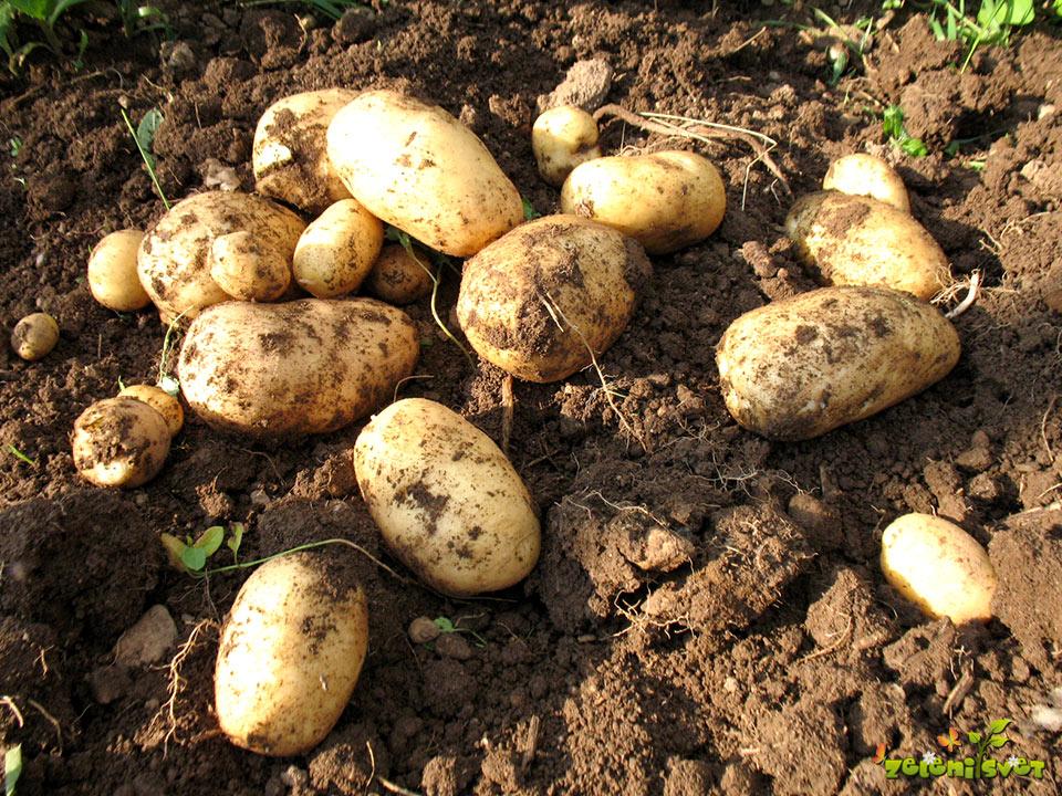 Pridelek krompirja