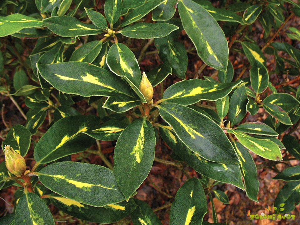 Pisanolistni rododendron
