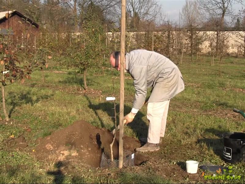 Sajenje sadnega drevja