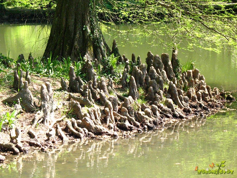 Zračne korenine močvirske ciprese