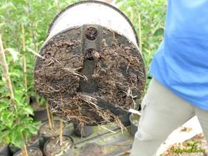 Primerno razvit koreninski sistem pri kontejnersko gojeni sadiki.