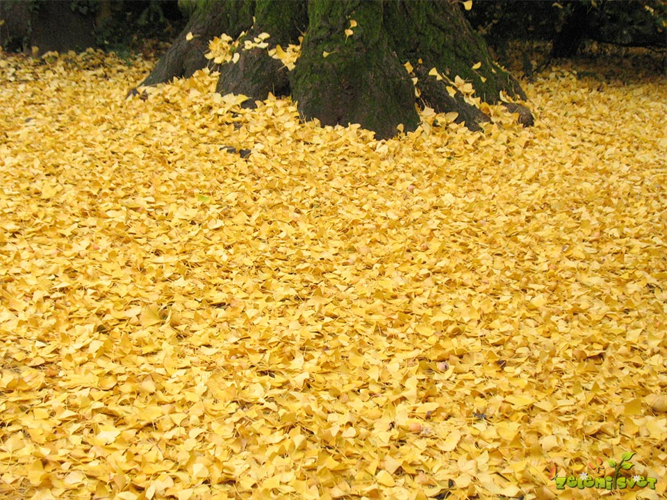 Odpadlo ginkovo listje