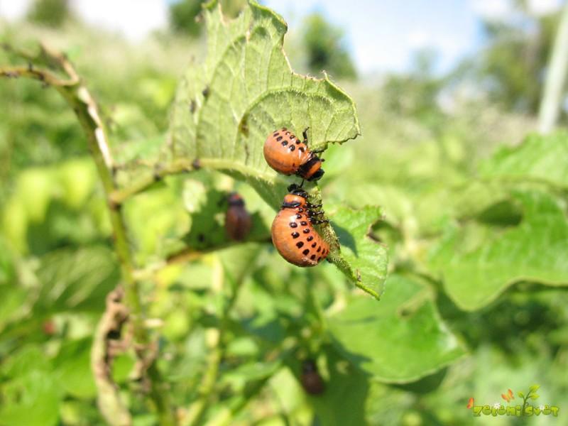 Ličinke koloradskega hrošča