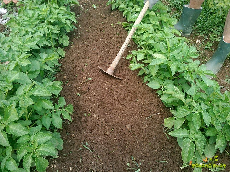 Osipanje krompirja