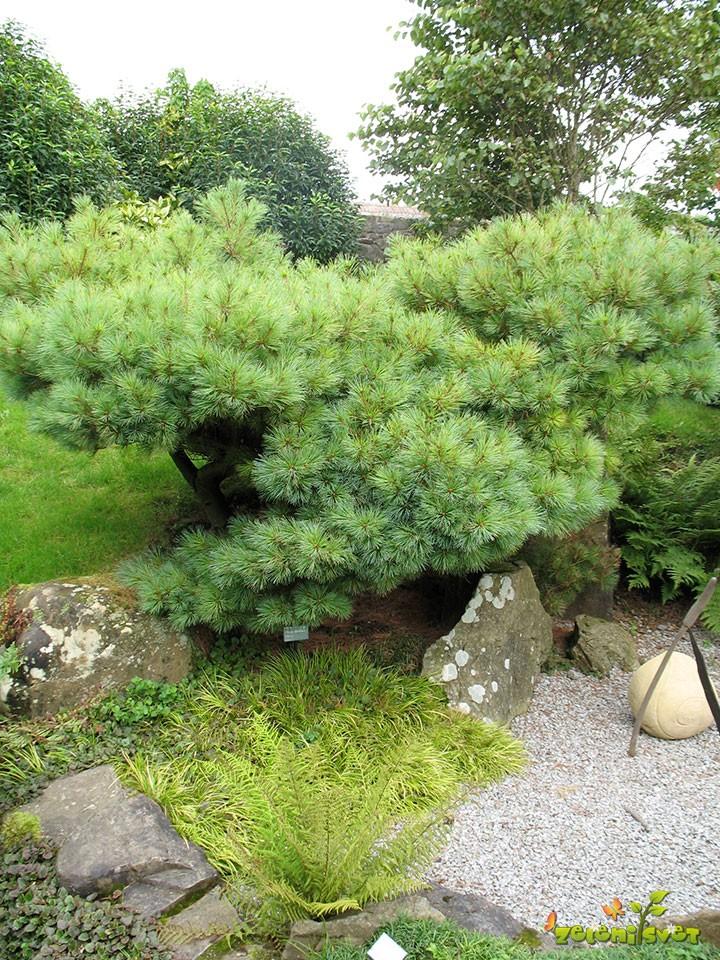 Zeleni bor, lat Pinus strobus´Nana´