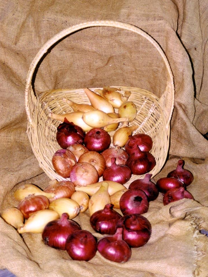 Slovenske sorte čebule Belokranjka, Ptujska rdeča in Tera.
