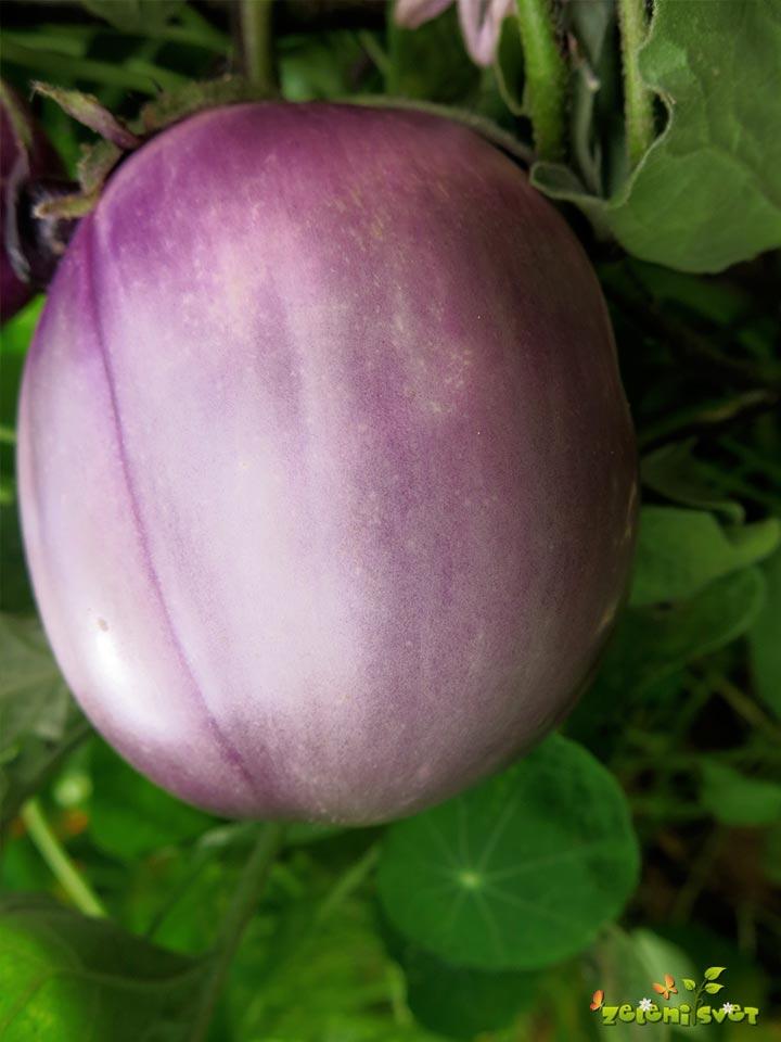 jajčevec hibrid