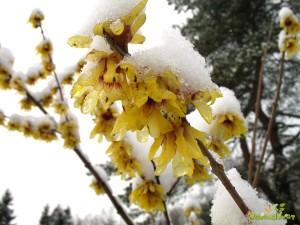 Med prvimi zacveti grmovnica zgodnji zimski cvet.