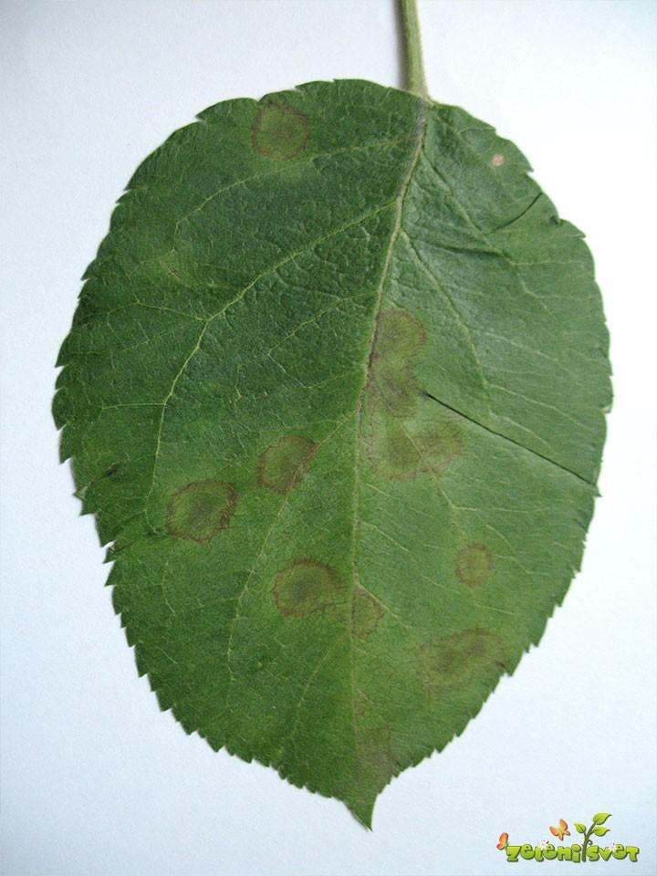 Jablanov škrlup na listih