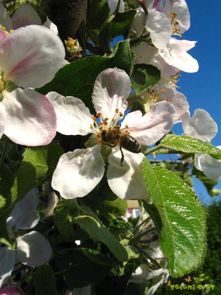 Čebela oprašuje jablano