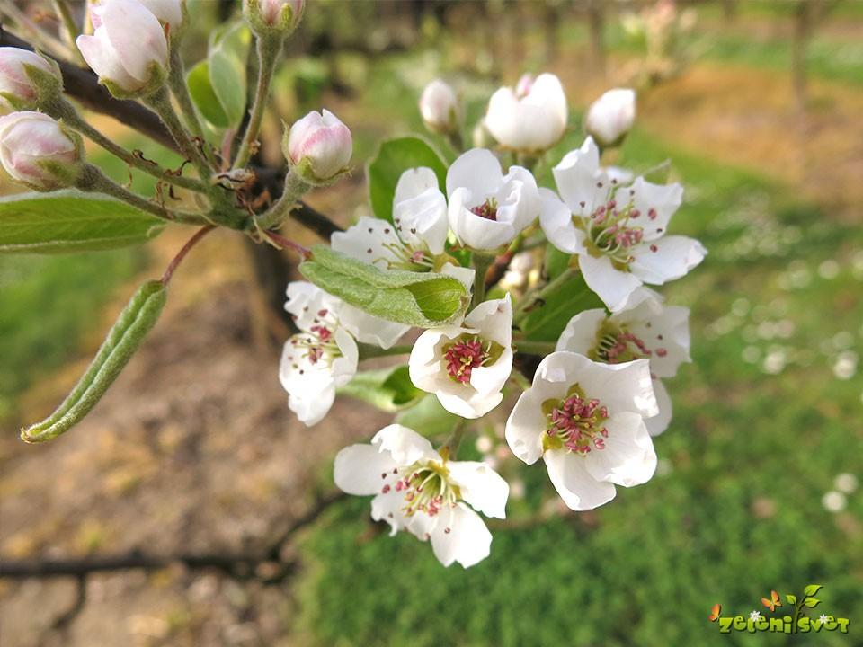 cvet hruške