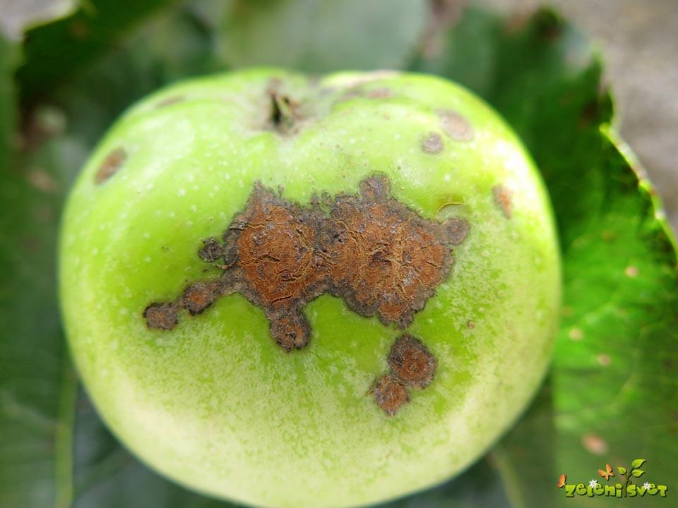 Jablanov škrlup na plodu