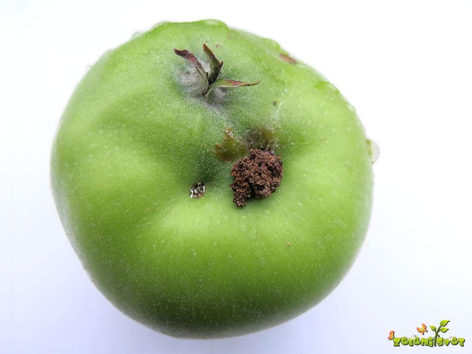 Iztrebek gosenice jabolčnega zavijača.