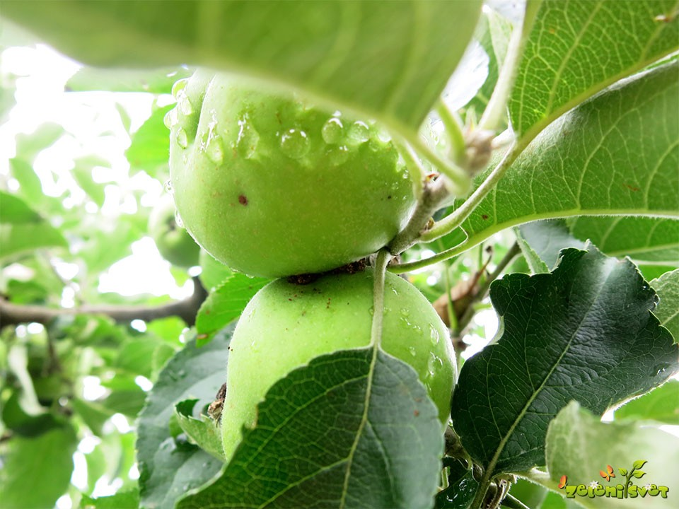 Jabolčni zavijač se najraje naseli med stikajočimi se plodovi.