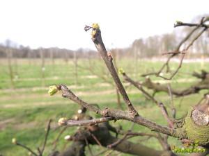 Kutina razvije cvet na koncu poganjkov preteklega leta.