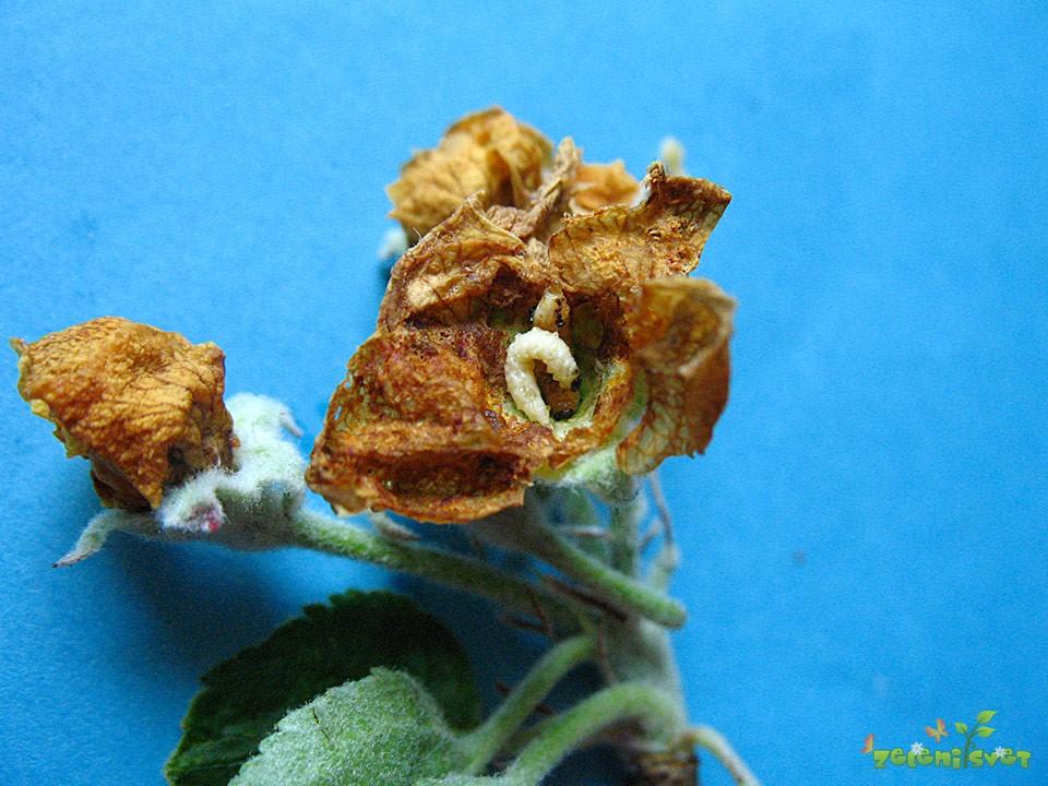 jablanov cvetožer
