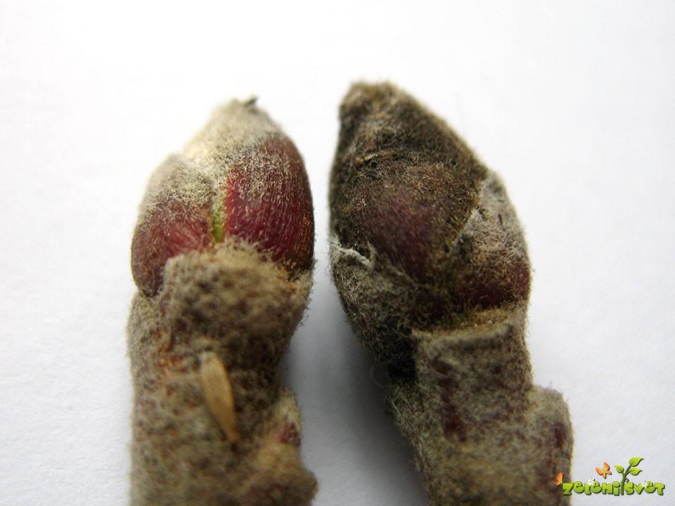 Na levi strani zdrav brst, na desni okužen z jablanovo pepelovko.