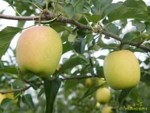 Pravilno redčena jabolka