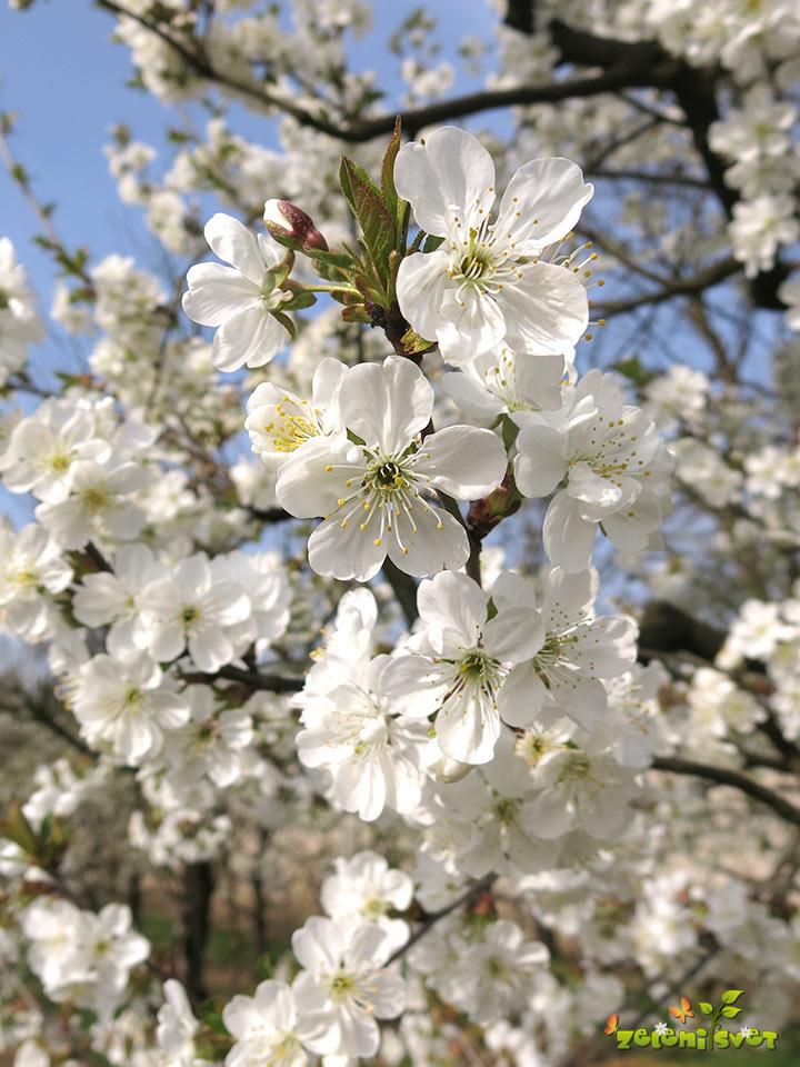 češnja v cvetu