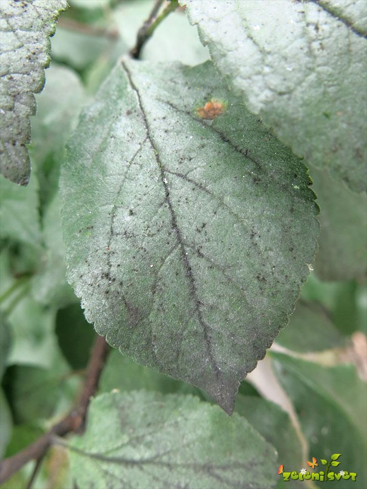 Glive sajavosti na listih, kot posledica izločkov listnih uši.