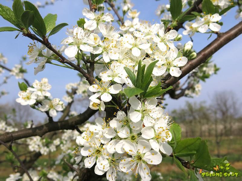 Kje cveti in rodi sadno drevje?