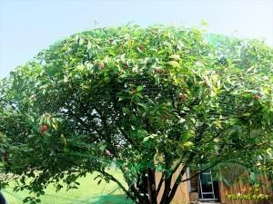 Plodove zaščitimo z mrežo proti ptičem.