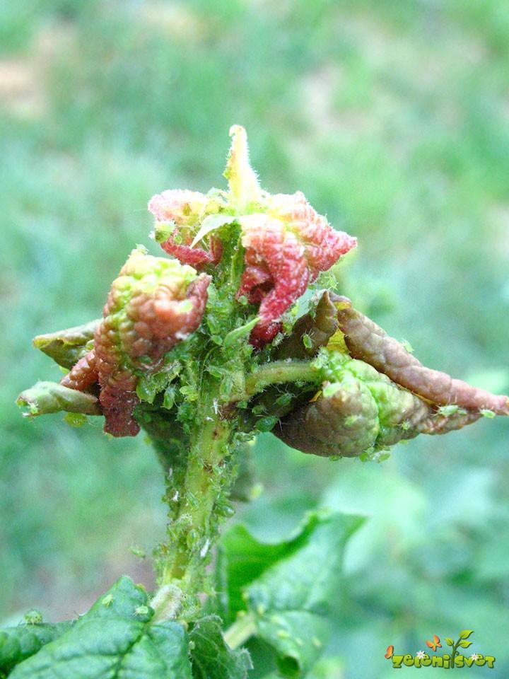 Zelena slivova uš
