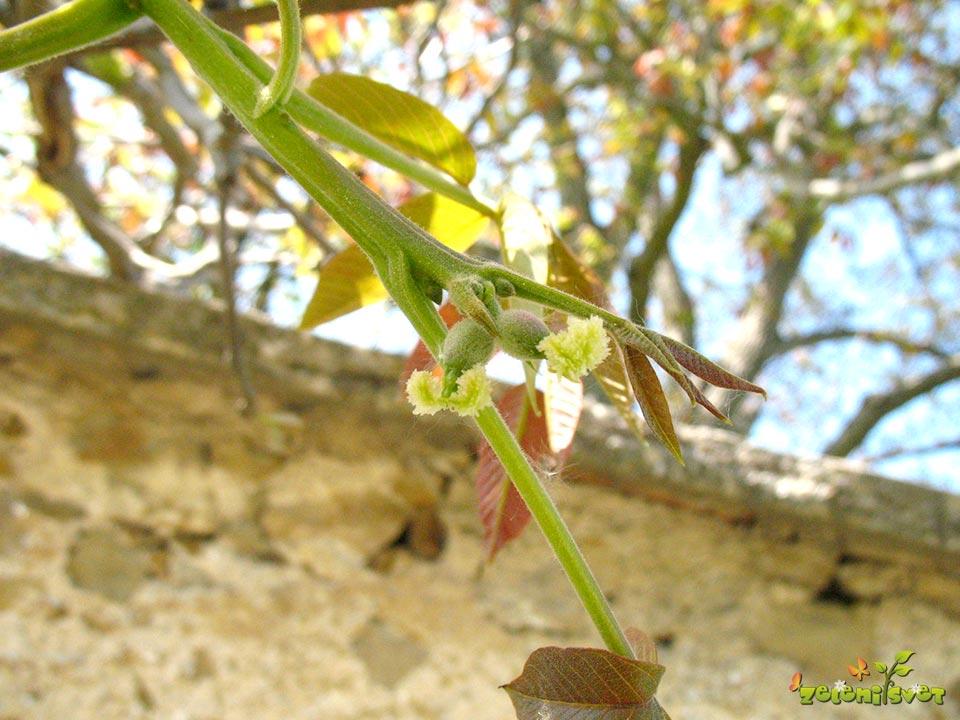 Ženski cvet na koncu mladike