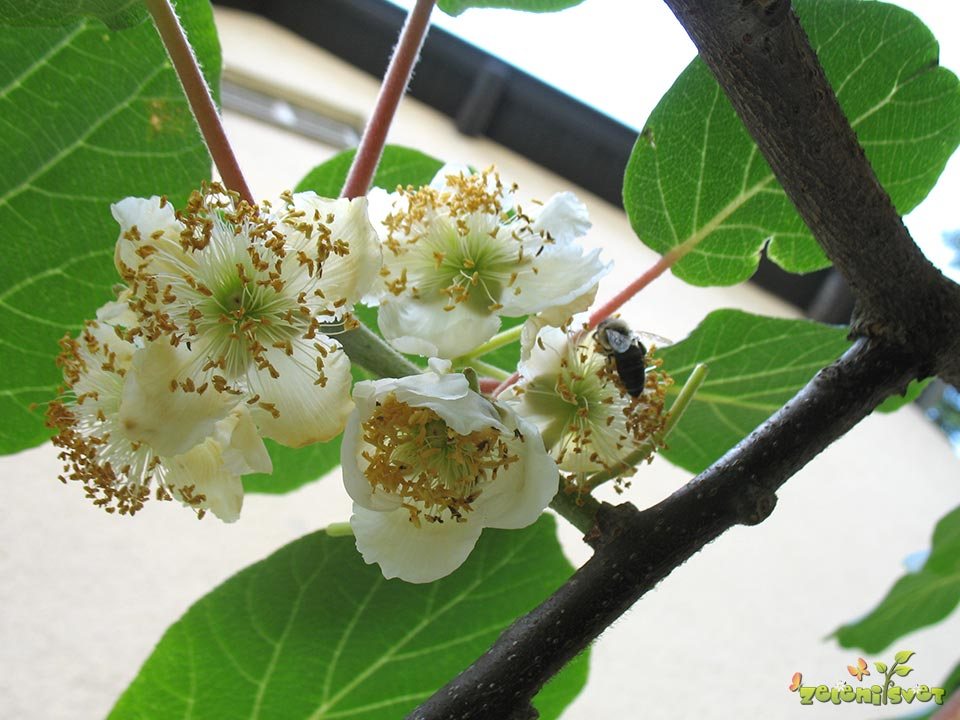 aktinidija-kivi-moski-cvet