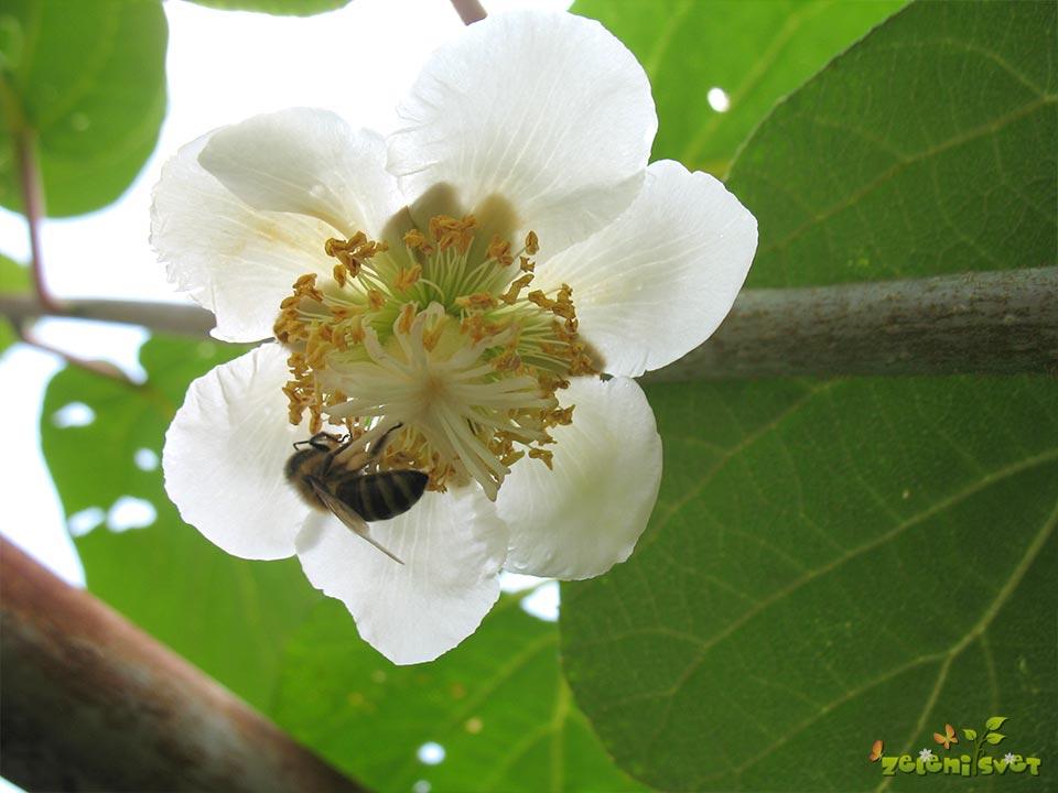 aktinidija-kivi-zenski-cvet