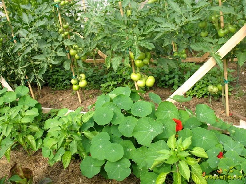 Sajenje paradižnika, paprike, kumar, buč in ostalih plodovk