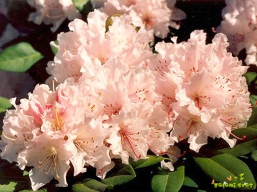 Rododendroni, azaleje, kamelije in ostale rastline za kisla rastišča