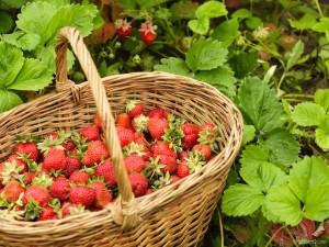 jagode v košari