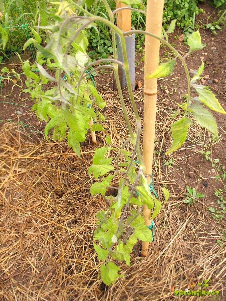 Oslabljena rast paradižnika zaradi mraza