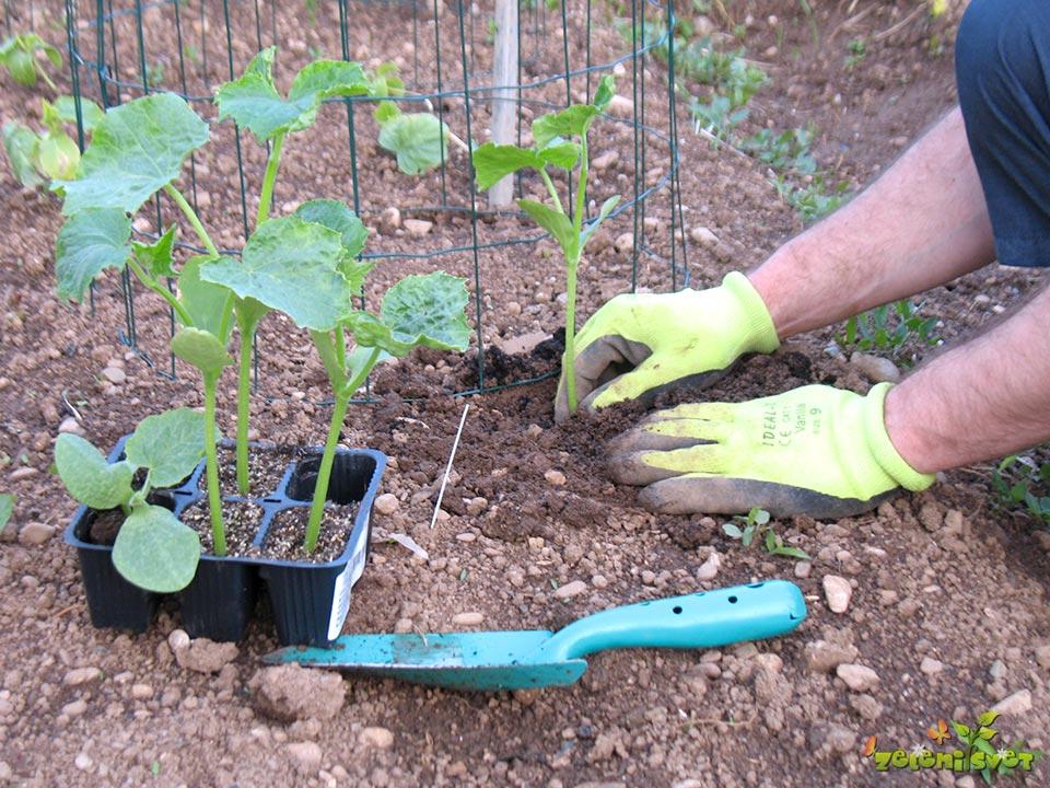 Sajenje novih sadik kumar