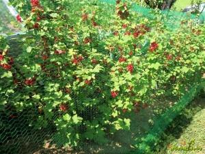 Z mražo ščitimo jagode pred ptiči.