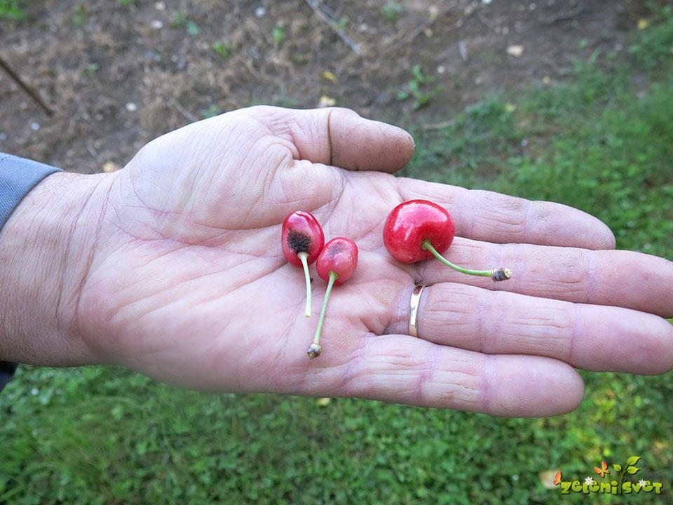 Neoplojene češnje
