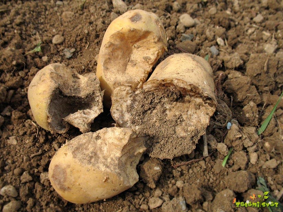 Obžrti gomolji krompirja