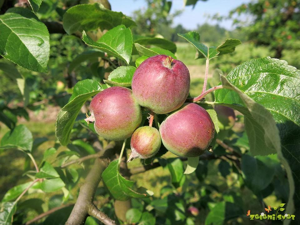 Plodiči jablane pred redčenjem.
