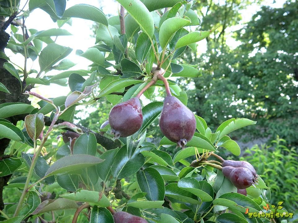 Redčenje plodov hrušk.