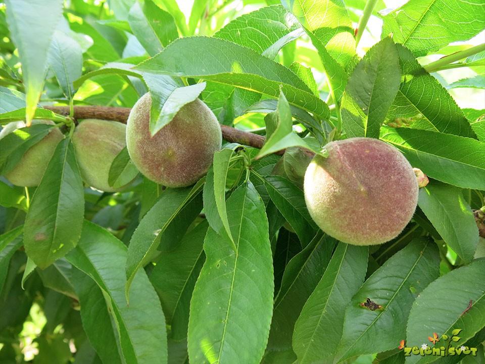 Redčenje plodov breskev