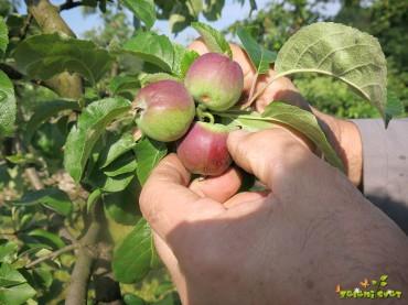 Redčenje plodov na sadnem drevju