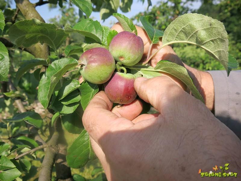 Redčenje plodov v sadovnjaku