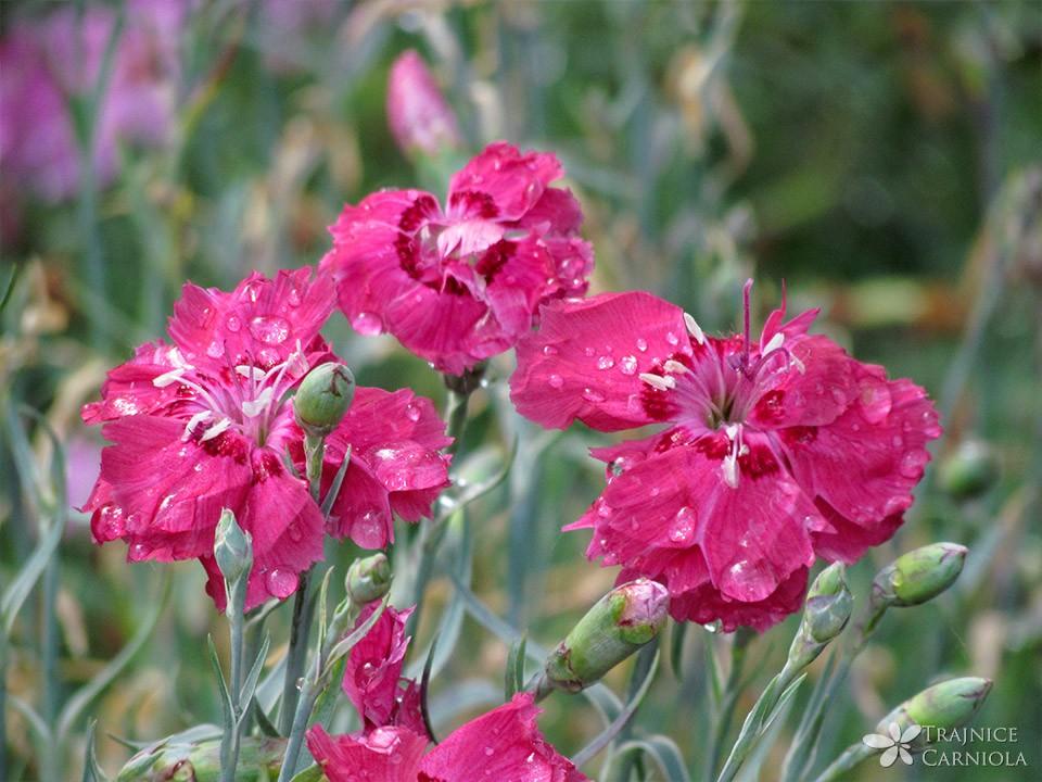 Dianthus 'Rotkäppchen'