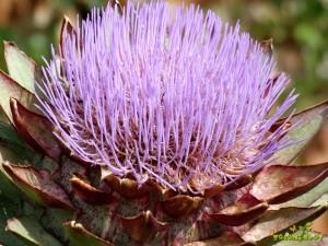 Dekorativni cvet artičoke